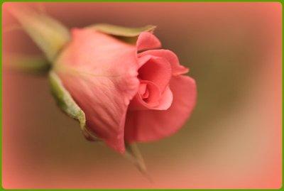 Apricot_Rose.jpg