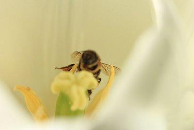 Bee_Tulip_White.jpg