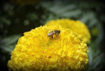 Bee_on_Macro.jpg