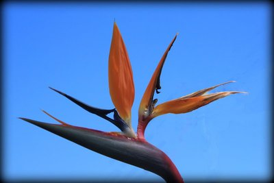 Bird_of_Paradise.jpg