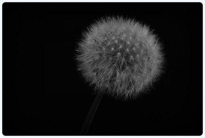 Dandelion_Macro.jpg