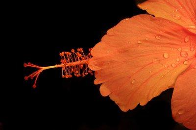 Hibiscus_8.jpg