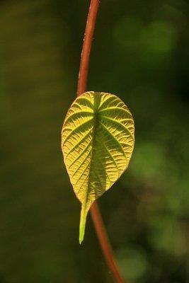 Rainforest..Cape_Trib_6.jpg