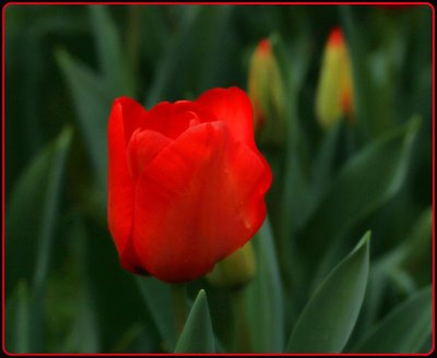Red_Tulip.jpg
