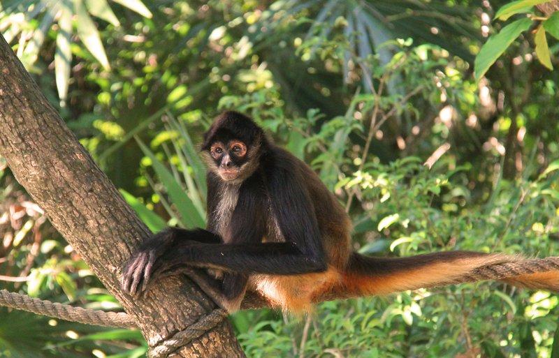 218 Belize - Spider Monkey 2