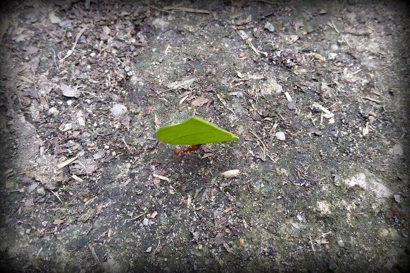 221 Belize - Leaf Cutter Ant