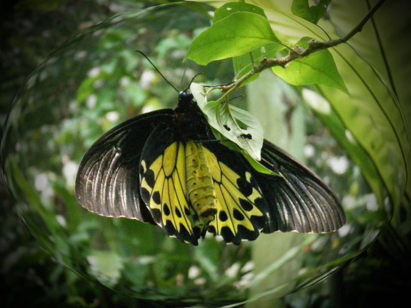aussirose photoshopped fisheye butterfly KL - Kuala Lumpur