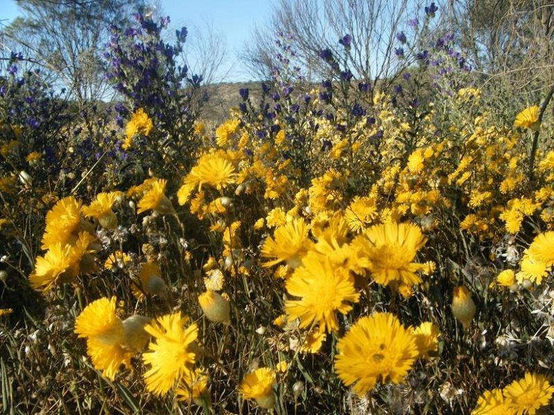 Everlastings at Coalseam National Park - Mingenew
