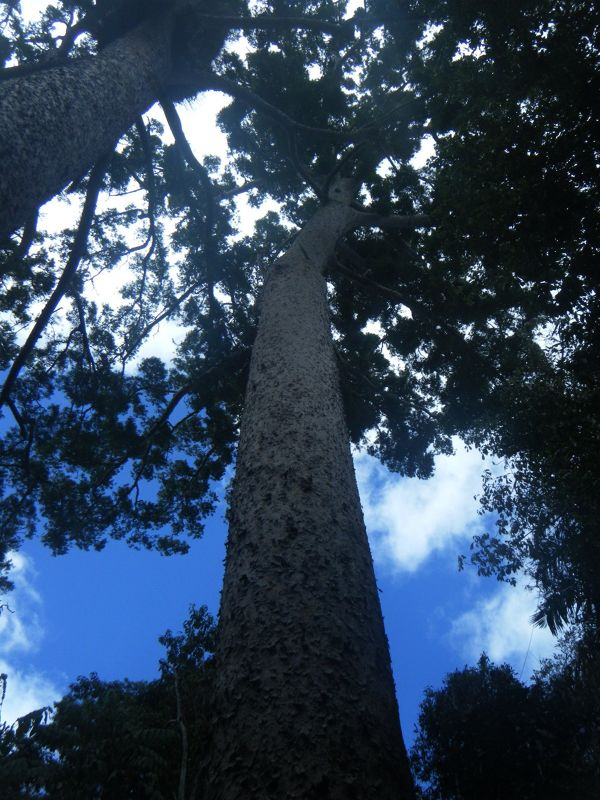 Lake Eacham huge trees by aussirose - Cairns