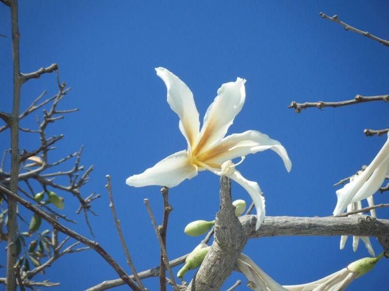 Flowering Boab tree in Torremolinos Spain - Torremolinos