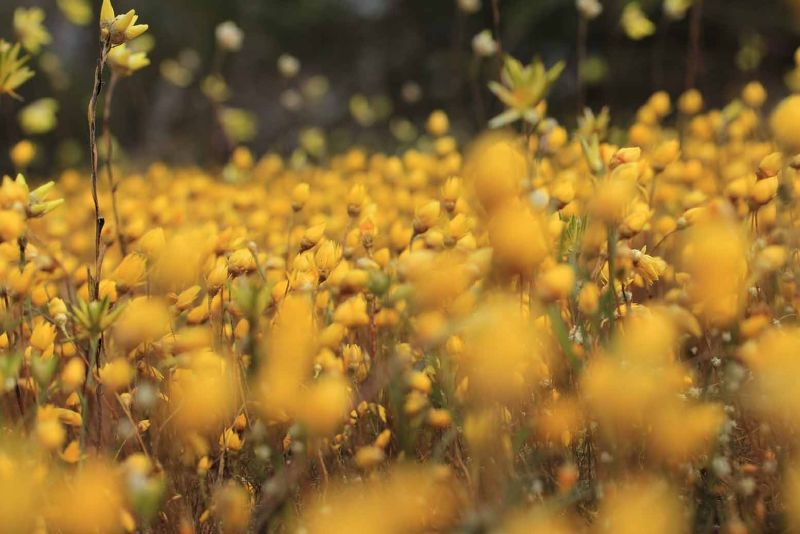 Western Australian Yellow Everlastings by aussirose - Mingenew