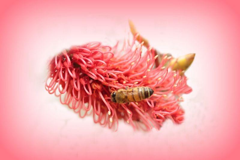 Bee in Bottlebrush Photoshopped by aussirose
