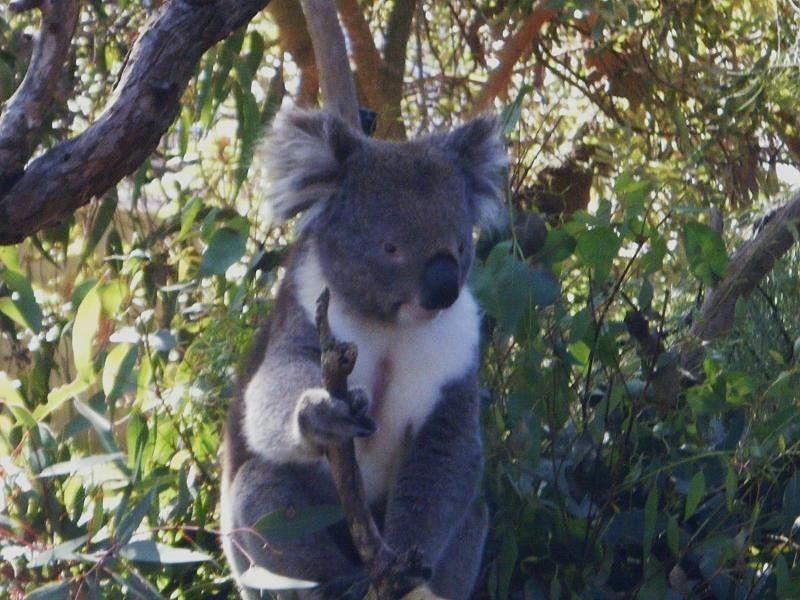 Koalas at Yanchep National Park by aussirose - Yanchep