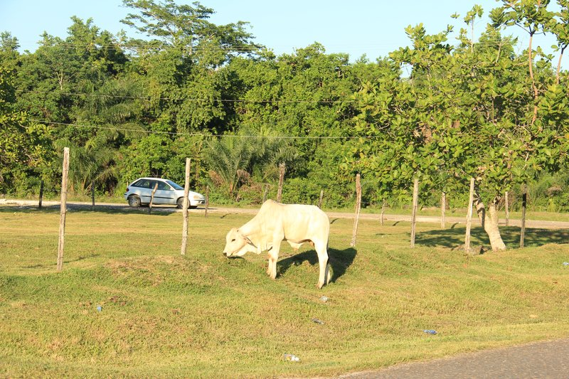 Belize - Holy Cow