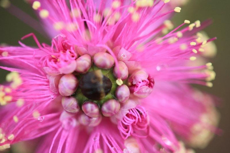 Lesueur National Park - Pink Kunzea