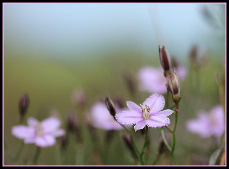 Lesueur National Park - Fringe Lily Wildflower