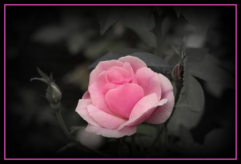 Rose Light PInk Black and White