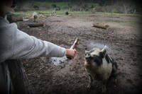 Pyengana - Pub in the Paddock - Feeding Pig 7