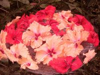 aussirose photoshopped hibiscus flowers KL - Kuala Lumpur
