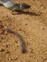 Crikey!  A lizard and catapillar crossing!! - Cervantes