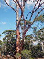 Australian outback tree by aussirose close up - Yellowdine