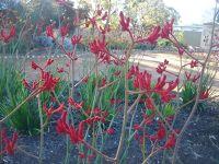 Kangaroo Paw flowers Toodyay by aussirose