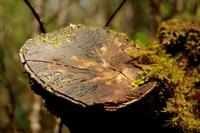Pyengana St Columba Falls - Bark