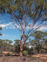 Colourful tree Australian outback by aussirose - Yellowdine