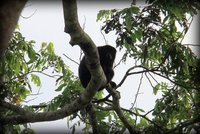 204 Belize - Howler