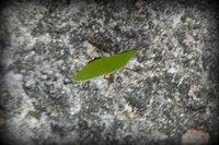 Belize - Howler Monkey Resort - Leaf Cutter Ant