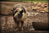 Pyengana - Pub in the Paddock - Pig