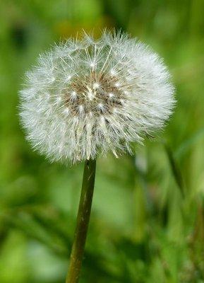 Wild flower, Breitachklamm