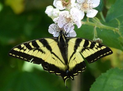 Swallowtail butterfly, Elwha Valley, Olympic NP