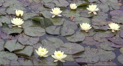 3702567-Lily_pond_Batemans_East_Sussex.jpg