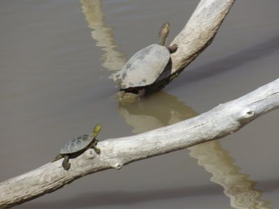 395515875903833-More_turtles..he_Socorro.jpg