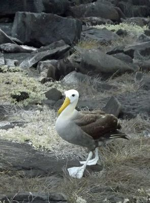 433006426445103-Waved_albatr..os_Islands.jpg