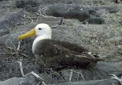 470269706445105-Waved_albatr..os_Islands.jpg