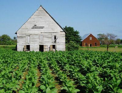 Tobacco field, Viñales Valley - Cuba