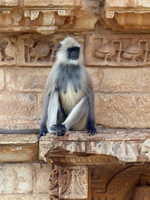 57703997551645-The_monkeys_..ittaurgarh.jpg