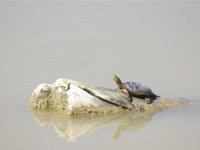 5903832-Turtle_Bosque_del_Apache_Socorro.jpg
