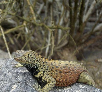 6444707-Lava_lizard_Isla_Espanola.jpg