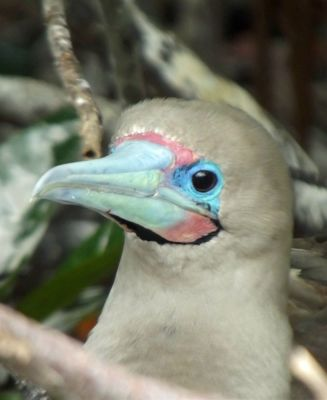 6444729-Red_footed_Booby_Isla_Genovesa.jpg