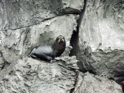 6444747-Galapagos_fur_seal_Isla_Genovesa.jpg