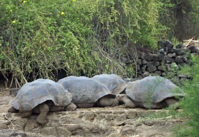 6444805-Male_tortoises_Puerto_Ayora.jpg