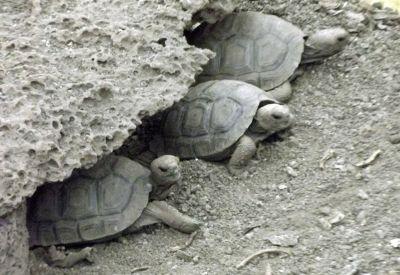 6444814-Young_tortoises_Isla_Santa_Cruz.jpg