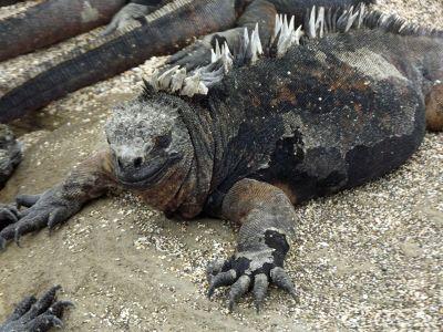 6444910-Marine_iguana_Galapagos_Islands.jpg