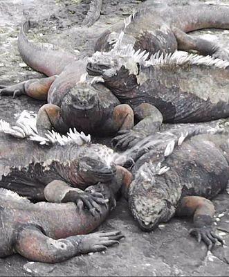 6444912-Marine_iguanas_Isla_San_Salvador.jpg