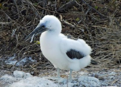 6454342-Young_Blue_footed_Booby_Isla_Seymour.jpg