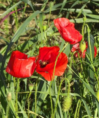 6704117-Poppies_in_May_Marche.jpg