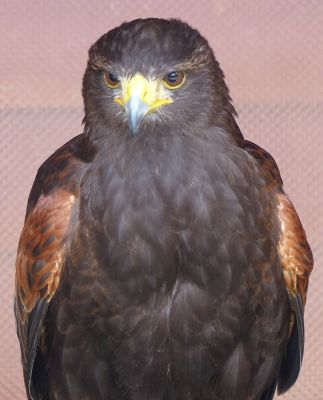 6815010-Harris_Hawk_Falstone.jpg